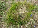 Carex humilis11.JPG