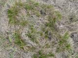 Carex humilis13.jpg