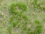 Carex humilis16.jpg
