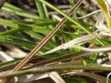Carex humilis17.jpg