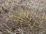 Carex humilis.JPG