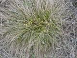 Carex humilis2.JPG