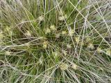 Carex humilis3.JPG
