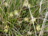 Carex humilis4.JPG