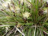 Carex humilis6.JPG