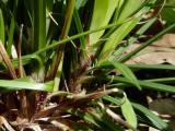 Carex digitata (12).JPG