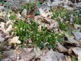 Carex digitata (14).JPG