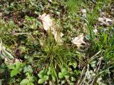 Carex digitata (5).JPG