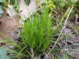 Carex digitata (7).JPG