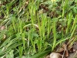Carex pilosa.JPG