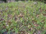Carex pilosa (11).JPG