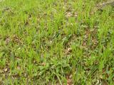 Carex pilosa (1).JPG