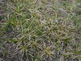 Carex liparicarpos (3).JPG