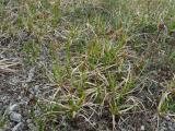Carex liparicarpos (5).JPG