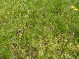 Carex praecox (19).JPG