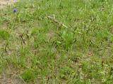 Carex praecox (20).JPG