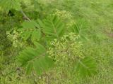 Sorbus aucuparia5.JPG