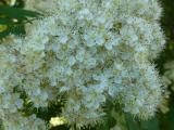 Sorbus aucuparia13.JPG