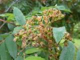 Sorbus aucuparia15.JPG