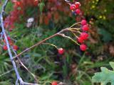 Sorbus graeca.aria T4.JPG