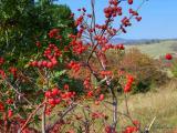 Sorbus graeca.aria T3.JPG