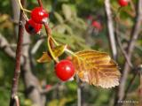 Sorbus graeca-11.JPG