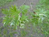 Sorbus domestica8.JPG