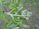 Sorbus domestica10.JPG