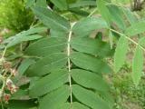 Sorbus domestica13.JPG