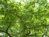 Sorbus domestica22.JPG