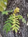 Sorbus domestica27.jpg