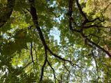 Sorbus domestica29.jpg
