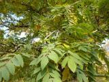 Sorbus domestica30.jpg