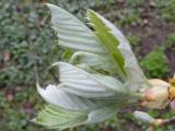 Sorbus pseudolatifolia3.JPG