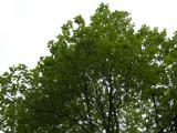 Sorbus pseudolatifolia21.JPG