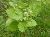 Sorbus pseudolatifolia17.JPG