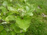 Sorbus pseudolatifolia18.JPG