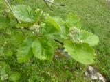 Sorbus pseudolatifolia19.JPG
