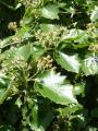 Sorbus pseudolatifolia27.JPG