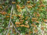Sorbus pseudolatifolia34.JPG