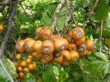 Sorbus pseudolatifolia36.JPG