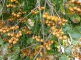 Sorbus pseudolatifolia37.JPG