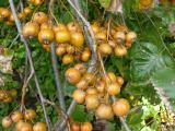 Sorbus pseudolatifolia38.JPG