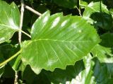 Sorbus pseudolatifolia28.JPG