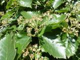 Sorbus pseudolatifolia31.JPG