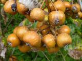 Sorbus pseudolatifolia43.JPG