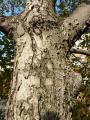 Sorbus pseudolatifolia44.jpg