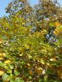 Sorbus pseudolatifolia46.jpg
