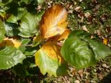 Sorbus pseudolatifolia47.jpg