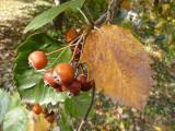 Sorbus pseudolatifolia48.jpg